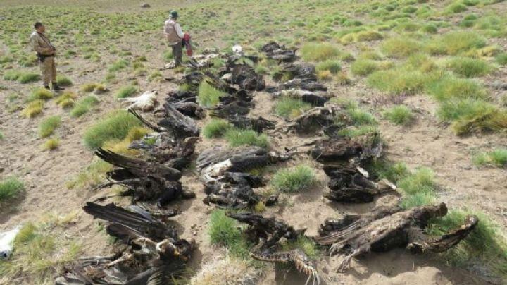 Insecticidas mataron 34 cóndores en Mendoza