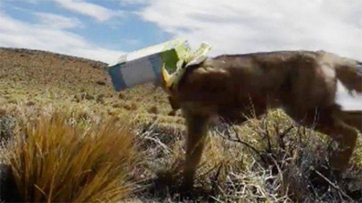 Salva a un zorrito patagónico de morir asfixiado entre dos cajas. VIDEO