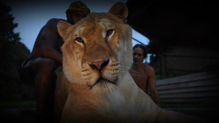 Conocé al híbrido de una tigresa con un león que asombra al mundo. Mirá