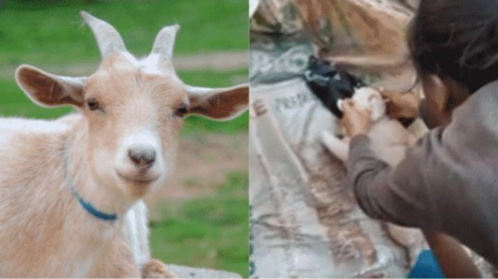 Insólito nacimiento de una cabra con forma humana