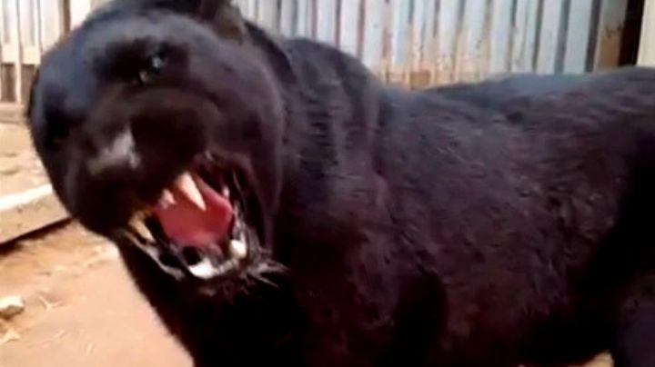 Violó las normas del zoológico y quedó con una pantera cara a cara. VIDEO