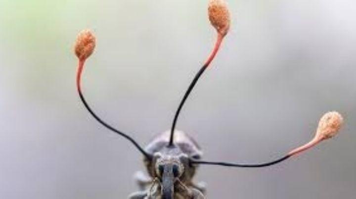 Perú: Un hongo Zombi se apodera de un escarabajo