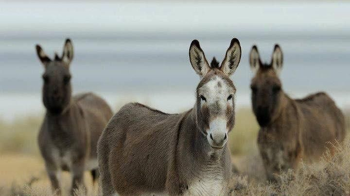 Macabro: Buscan a los responsables por la muerte de docenas de burros salvajes